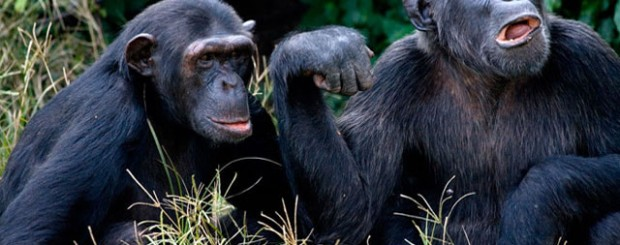 Ngamba Island Chimpanzee Viewing