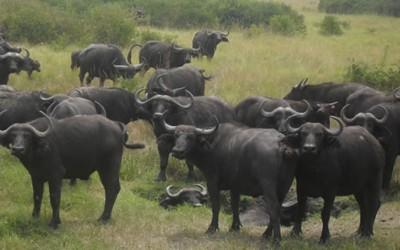 Buffaloes in Queen Elizabeth National Park