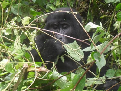 Gorilla Tracking in Africa