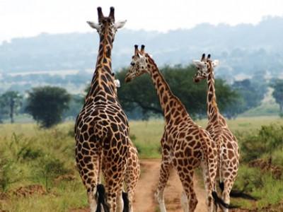 Kidepo Giraffees