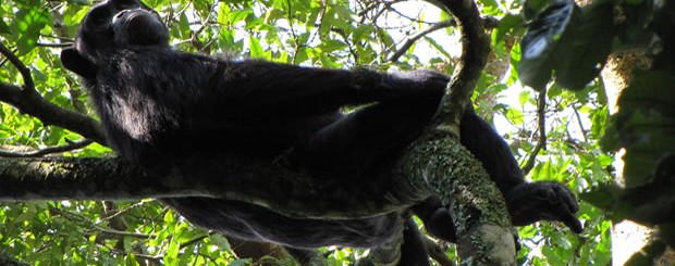 Uganda Chimpanzee