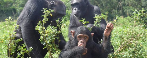 Ngamba Chimpanzees
