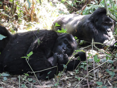 Mountain Gorillas of Uganda
