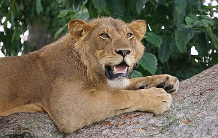 Tree Lions at Ishasha Sector