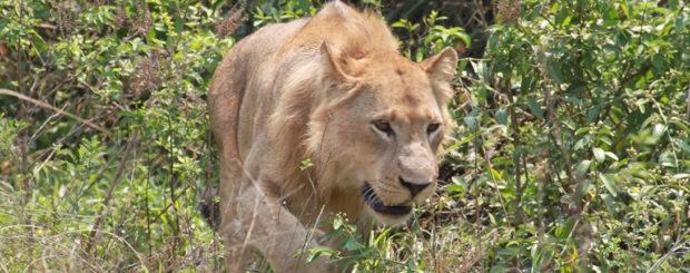 Uganda Lions