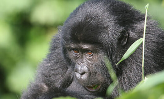 Gorilla Trekking Bwindi Forest