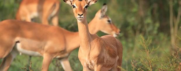 Antelopes in Lake Mburo National Park