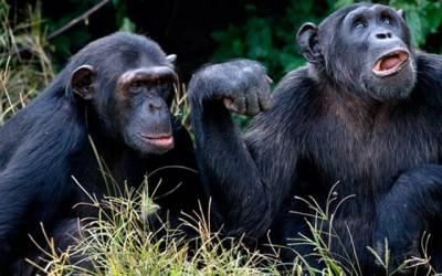 Ngamba Island Chimpanzee Viewing