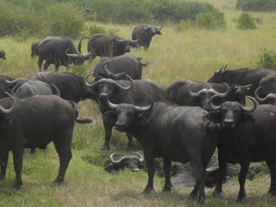 Buffaloes in Queen Elizabeth National Park
