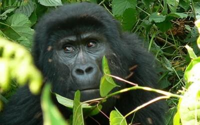Bwindi Gorilla