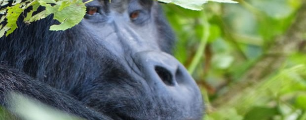 Gorilla Watching