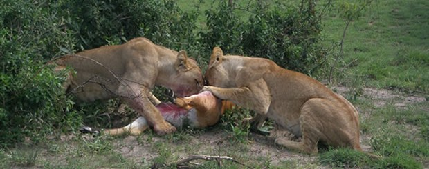 Lions Prey on an antelope