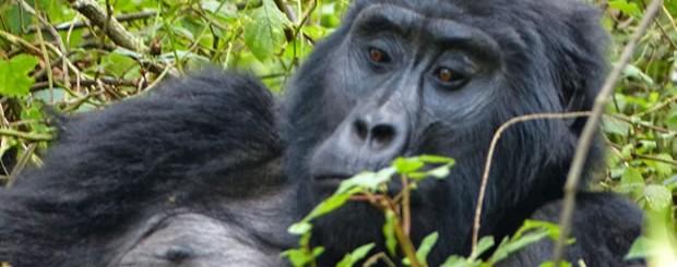 Gorilla Tracking in PNV