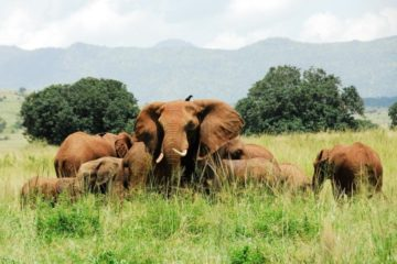 Kidepo Elephants