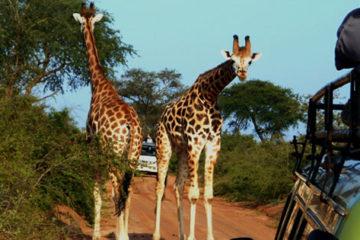 Murchison Falls Giraffe Safari
