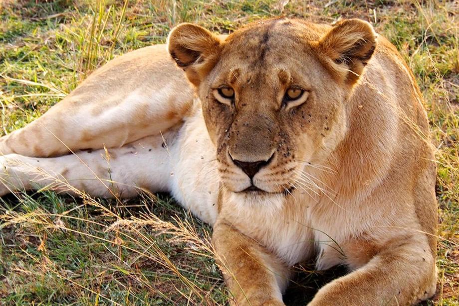 Lions of Uganda