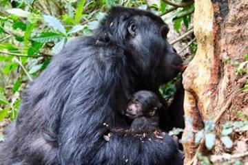 Baby Gorilla in Mishaya