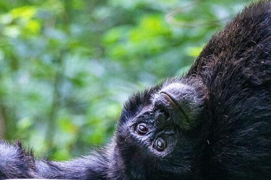 Kibale Chimpanzee Safari
