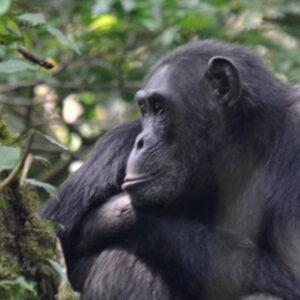 Uganda Chimpanzees